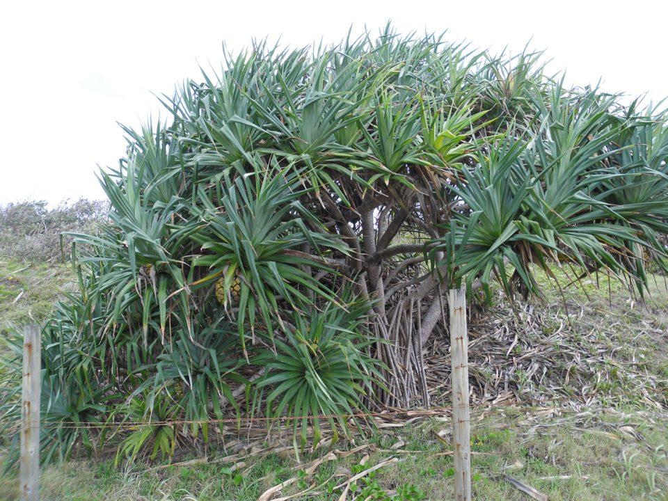 Pandanus Palms stolen